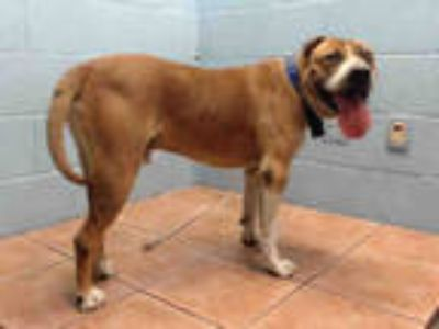 Adopt CHATO a Brown/Chocolate American Pit Bull Terrier / Boxer / Mixed dog in