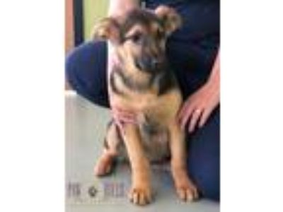 Adopt Rafiki a Black - with Tan, Yellow or Fawn German Shepherd Dog / Mixed dog