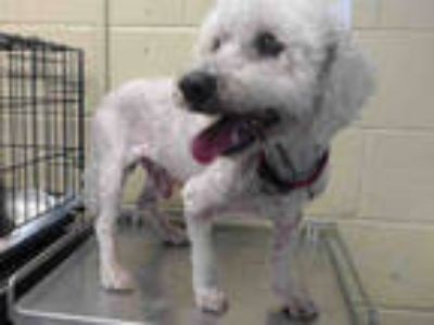 Adopt BRADLEY a White Poodle (Miniature) / Mixed dog in Downey, CA (25933508)