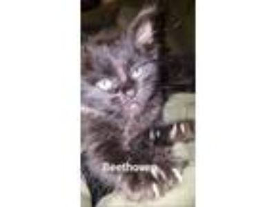 Adopt BEETHOVEN a Maine Coon