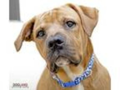 Adopt Lieutenant a Red/Golden/Orange/Chestnut American Pit Bull Terrier / Mixed