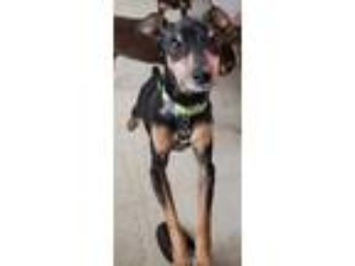 Adopt Burt a Black - with Tan, Yellow or Fawn Miniature Pinscher / Mixed dog in
