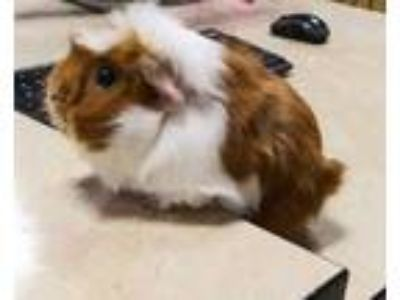 Adopt Tutu a Brown or Chocolate Guinea Pig / Guinea Pig / Mixed small animal in