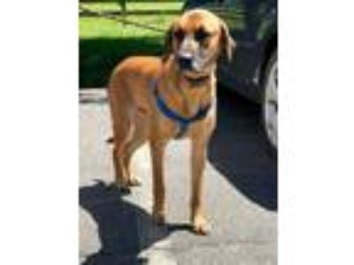 Adopt Dozer a German Shepherd Dog, Hound