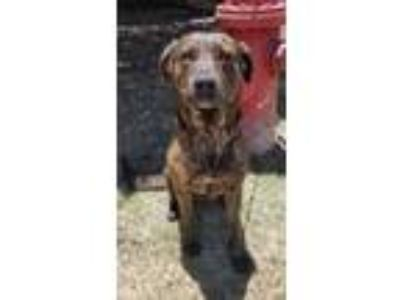 Adopt Wednesday a Catahoula Leopard Dog, Pit Bull Terrier