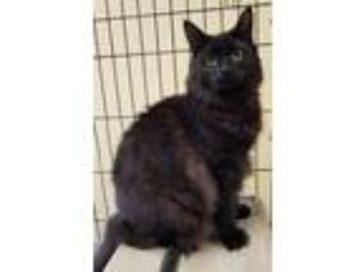 Adopt Licorice a All Black Domestic Mediumhair / Mixed (medium coat) cat in