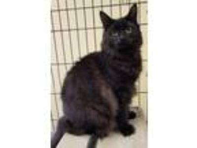 Adopt Licorice a All Black Domestic Mediumhair / Mixed (medium coat) cat in