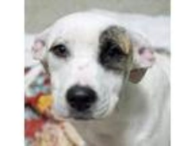 Adopt Jarvis a Pointer, Mixed Breed