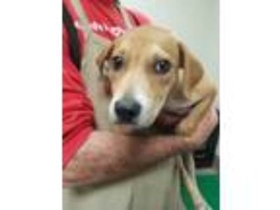 Adopt Fleur a Labrador Retriever, Mixed Breed
