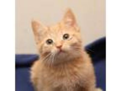 Adopt Tagalog a Domestic Short Hair