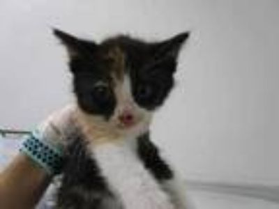 Adopt Scared Pigeon a All Black Domestic Shorthair / Domestic Shorthair / Mixed