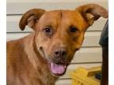 Adopt Hampton a Labrador Retriever