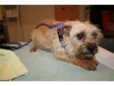 Adopt a Brown/Chocolate Norfolk Terrier / Mixed dog in Modesto, CA (25317332)
