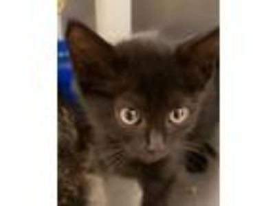 Adopt Cat Cage 14 a All Black Domestic Shorthair / Mixed cat in Greenville