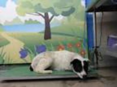 Adopt HOGAN a Collie, Labrador Retriever