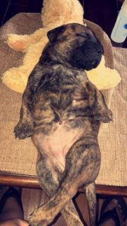 Bullmastiff PUPPY FOR SALE ADN-90267 - 2 Bullmastiff Puppies
