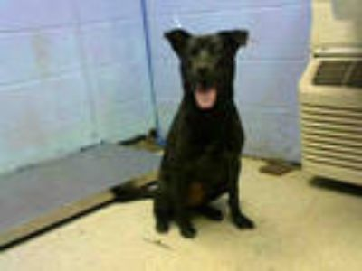 Adopt DELILAH a Black Labrador Retriever / Mixed dog in Atlanta, GA (25553040)