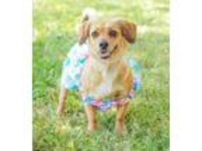 Adopt Mayflower a Dachshund, Corgi