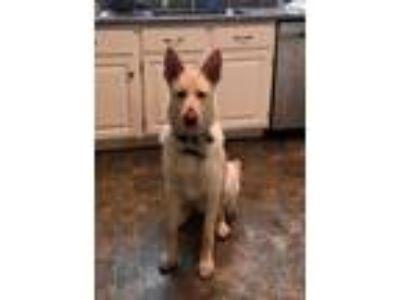 Adopt Negan a German Shepherd Dog