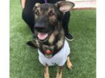 Adopt ARCHER a German Shepherd Dog, Mixed Breed