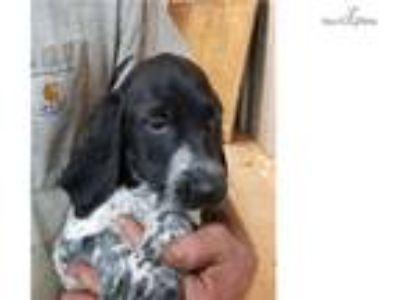 Black roan male gsp puppy