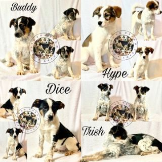 Australian Cattle Dog-Border Collie Mix PUPPY FOR SALE ADN-113864 - Border collie mix puppies available