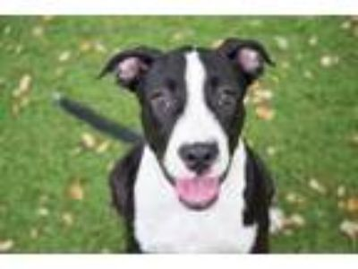 Adopt Howe a Black American Pit Bull Terrier / Mixed dog in Clearwater