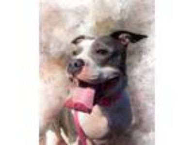 Adopt Martha a American Staffordshire Terrier / Pit Bull Terrier / Mixed dog in