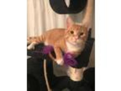 Adopt Lucas a Orange or Red Tabby Domestic Shorthair (short coat) cat in