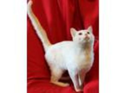 Adopt Webster a White Domestic Shorthair (short coat) cat in Spring Valley