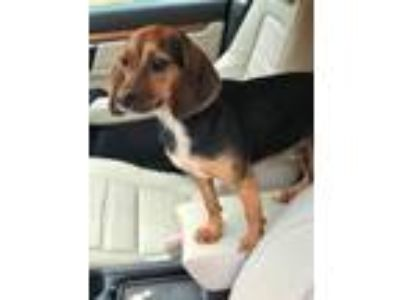 Adopt Beegy CG in MS a Beagle