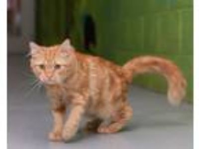 Adopt Nibbler a Domestic Medium Hair