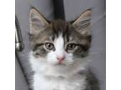 Adopt Oatmeal a Brown Tabby Domestic Shorthair / Mixed cat in Palatine