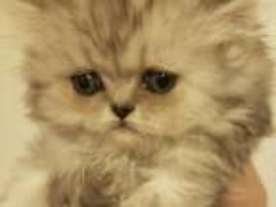Silver Shaded Female Persian Kitten DOLL FACE