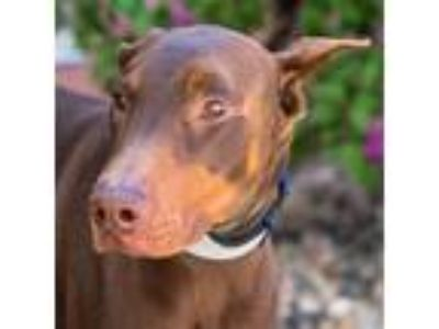 Adopt Rumplestiltskin a Doberman Pinscher / Mixed dog in Golden, CO (25250684)