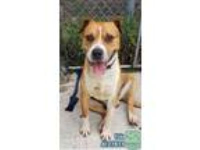Adopt Fido a Tan/Yellow/Fawn - with White Staffordshire Bull Terrier / Boxer /