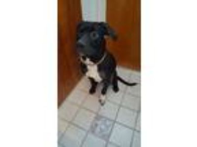 Adopt River a Black - with White American Pit Bull Terrier / Mixed dog in