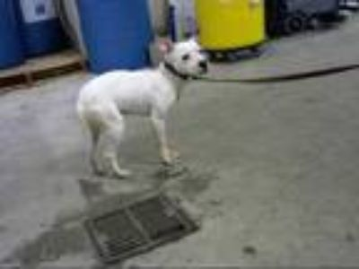 Adopt CLOVE a White - with Black American Pit Bull Terrier / Mixed dog in