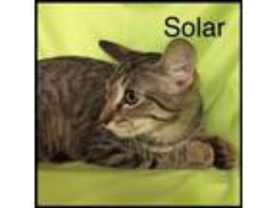 Adopt Solar a Domestic Short Hair