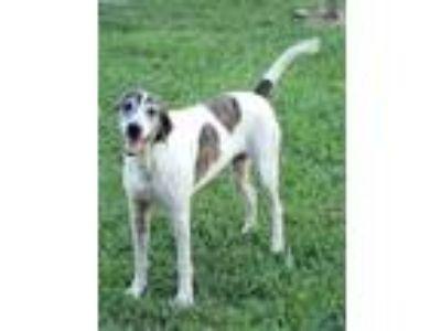 Adopt Chopper a Pointer / Mixed dog in Gilmer, TX (25167612)