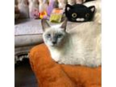 Adopt Helena a Gray or Blue Siamese cat in Los Angeles, CA (21343563)