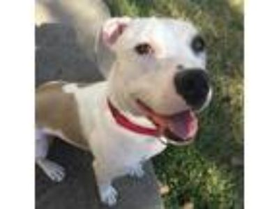 Adopt Fredrick a Pit Bull Terrier / Mixed dog in Austin, TX (20048938)