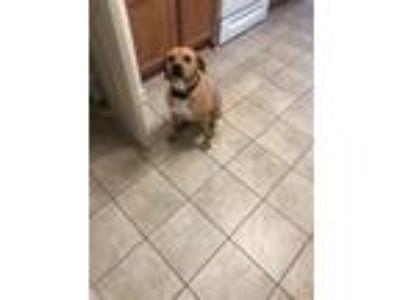 Adopt Dawn Rose a Brown/Chocolate Hound (Unknown Type) dog in West Point
