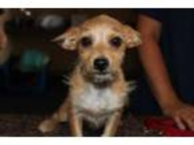 Adopt Norman a Terrier, Mixed Breed