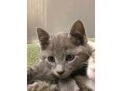 Adopt Cat 14 June 13 gm a Domestic Short Hair