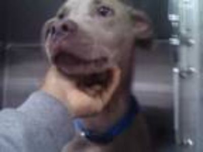 Adopt Jade a Tan/Yellow/Fawn Weimaraner / Mixed dog in Fort Worth, TX (25251887)