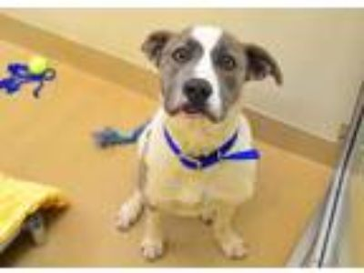 Adopt *MASON a Brindle - with White American Pit Bull Terrier / Mixed dog in