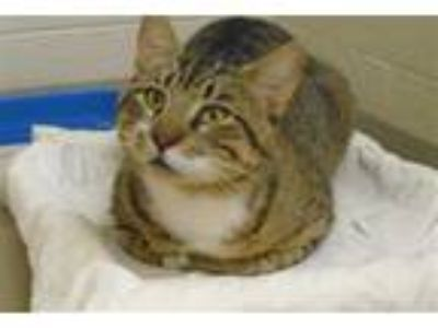 Adopt ALADDIN a Brown Tabby Domestic Shorthair / Mixed (short coat) cat in Vero