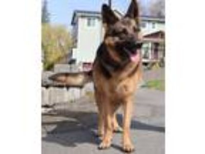 Adopt Kira a German Shepherd Dog