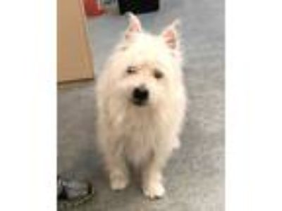 Adopt HOLT a White Westie, West Highland White Terrier / Mixed dog in Tacoma